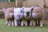 Мини-пиги, карликовые свинки декоративные. Фото 2.