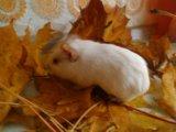Морская свинка альбинос. Фото 1.
