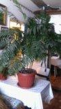 Пальма хамидорея. Фото 1.