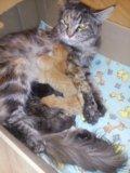 Мей-кун кошка 1,5 мес. Фото 4.