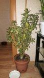 Денежное дерево. Фото 1.