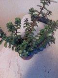 Живое дерево с мелкими листочками. Фото 1.