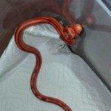 Змея маисовый полоз. Фото 1.