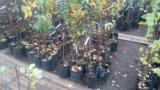 Плодовые деревья. Фото 2.