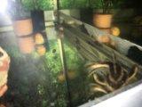Сом платидорас  поющий. Фото 3.