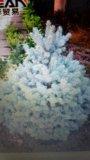Семена голубой ели. Фото 1.