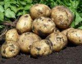 Картофель крупный (по ведру). Фото 1.