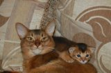 Абиссинские котята. Фото 2.