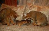 Абиссинские котята. Фото 3.