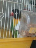Попугай с клеткой девочка. Фото 2.