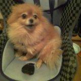 Собачка шпиц. Фото 3.