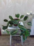 Цветок маранта. Фото 1.