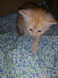 Мей-кун кошка 1,5 мес. Фото 3.