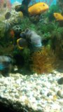Акары бирюзовые. Фото 1.