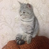 Британская кошка. Фото 2.