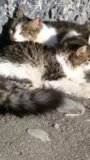 Продам кошку черно белую. Фото 1.