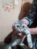 Котёнок шотлан веслоух,. Фото 1.
