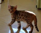 Бенгальские котята. Фото 3.