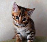 Бенгальские котята. Фото 2.