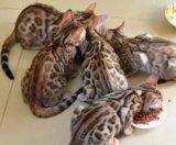 Бенгальские котята. Фото 4.