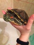 Красноухая черепаха. Фото 1.