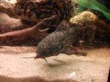 Сомы таракаты. Фото 1.
