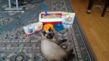 Продам сиамского кота со всем инвентарём. Фото 4.