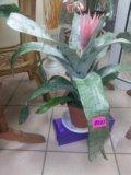 Продам цветок эхмея. Фото 1.
