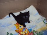 Два темно-дымчатых котика. Фото 1.