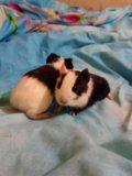 Морские свинки. Фото 1.