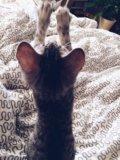 Котенок 2 месяца девочка. Фото 2.