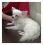 Продаю щенка чихуахуа. Фото 1.