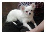 Продаю щенка чихуахуа. Фото 2.