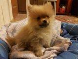 Померанский шпиц щенок 25 сент др. Фото 1.