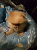 Померанский шпиц щенок 25 сент др. Фото 4.