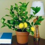 Взрослый лимон (цитрус) плодоносящий сорт мейер. Фото 1.