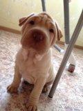 Собаку породы шарпей !!. Фото 1.