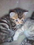 Котята от бенгальского кота. Фото 1.