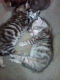 Котята от бенгальского кота. Фото 4.