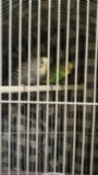 Продам волнистых попугаев вмести с клеткой. Фото 1.