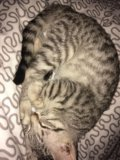 Котенок 2 месяца девочка. Фото 4.