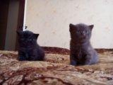 Британские котята. Фото 2.