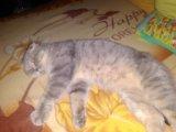 Британская кошка. Фото 1.