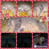 Британская кошка. Фото 3.