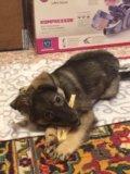 Отдам щенка в очень добрые и надежные ручки!!. Фото 1.