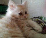 Кремовый котейка. Фото 1.