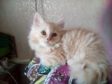 Кремовый котейка. Фото 3.