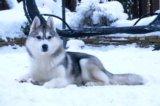 Сибирский хаски щенок. Фото 4.