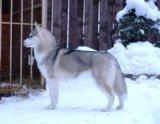 Сибирский хаски щенок. Фото 3.