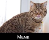 Шотландские котята. Фото 3.